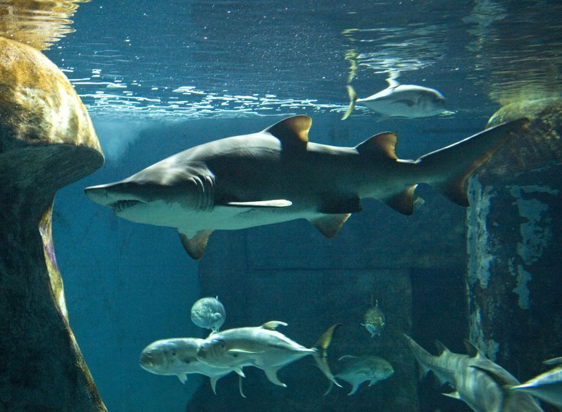 Tiburones © Sea Life London Aquarium